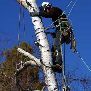 Tips for safe tree trimming and removal